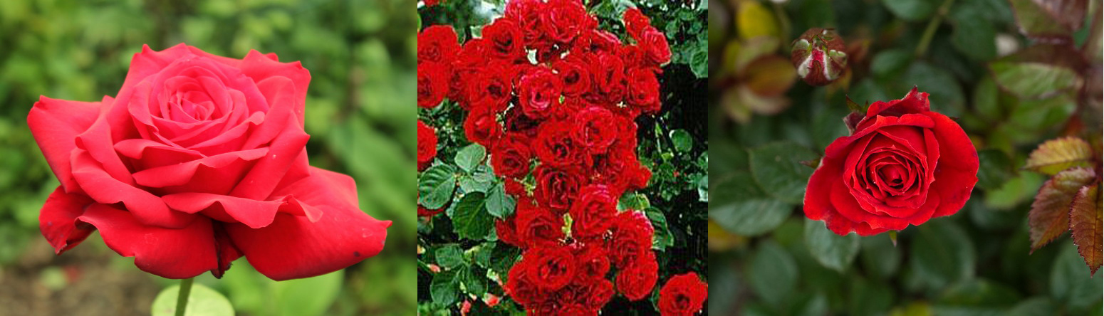 И кобзон какого цвета бывают розы