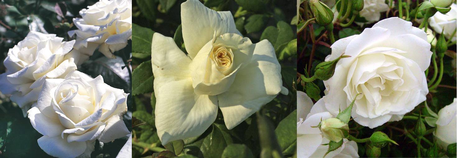 Архисад какого цвета бывают розы