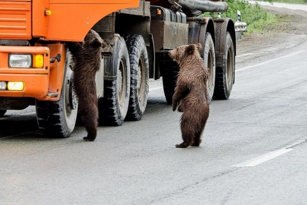 дальнобойщик медведи