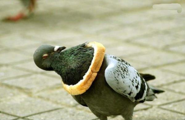 голубь и хлеб