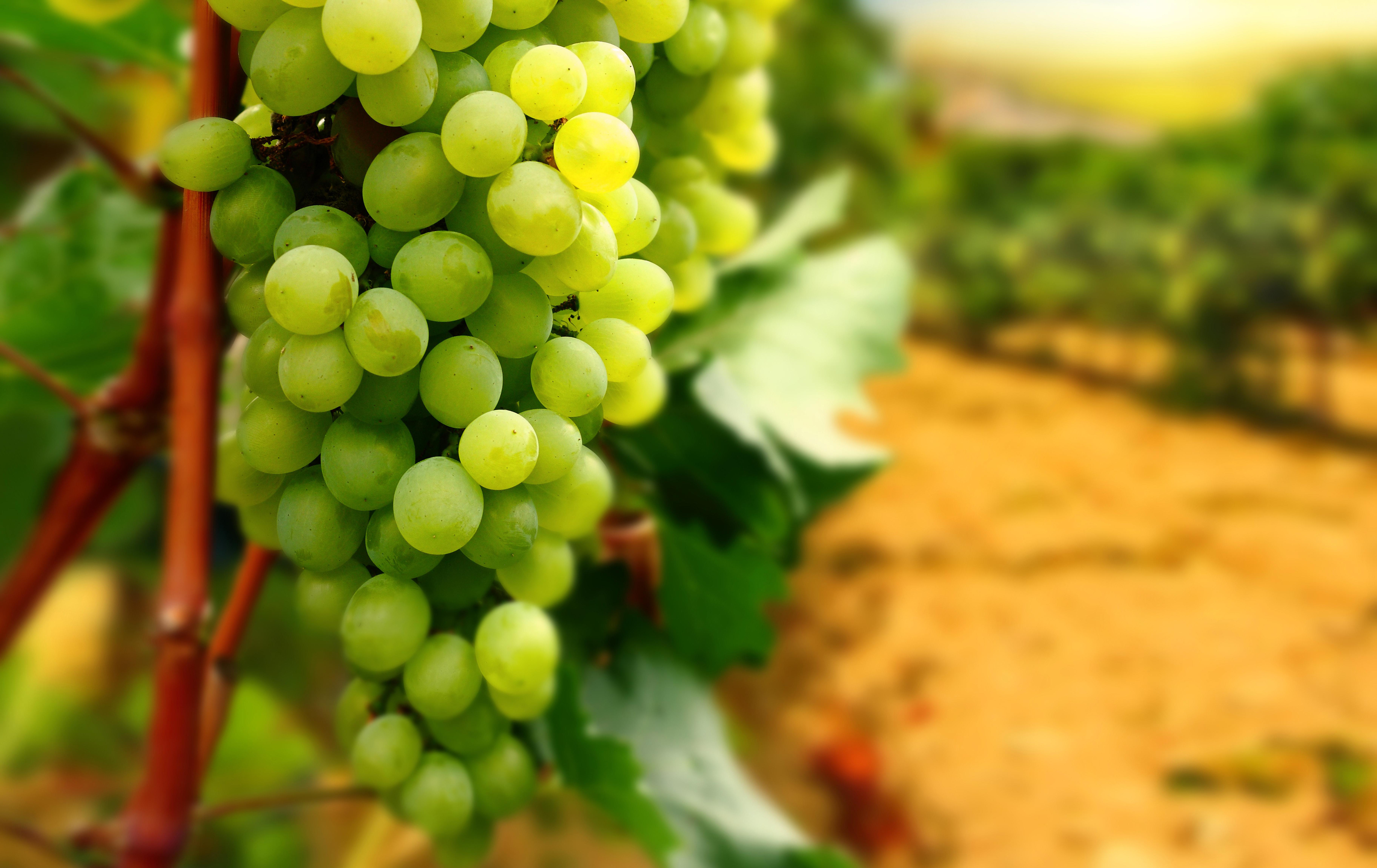 виноградники Краснодара