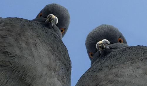 голуби могут читать