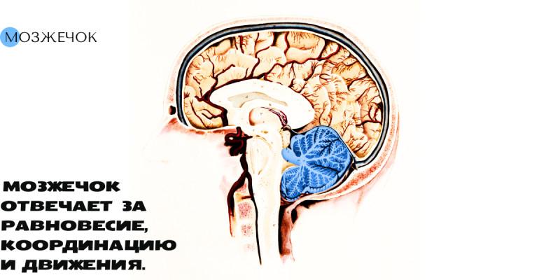 Мозг — просто о сложном. Строение и функции.