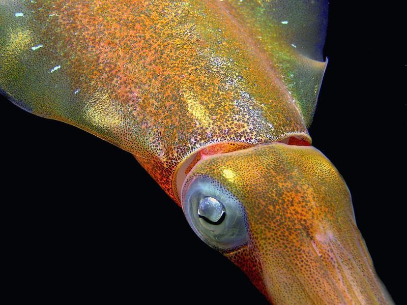 Осьминоги меняют цвет во время сна