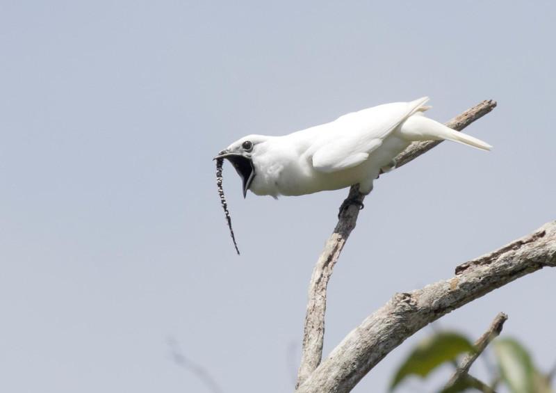 Перед вами самец птицы-колокольчика во время исполнения брачной песни