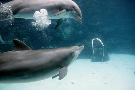 dolphin-bubbles-460_786438c