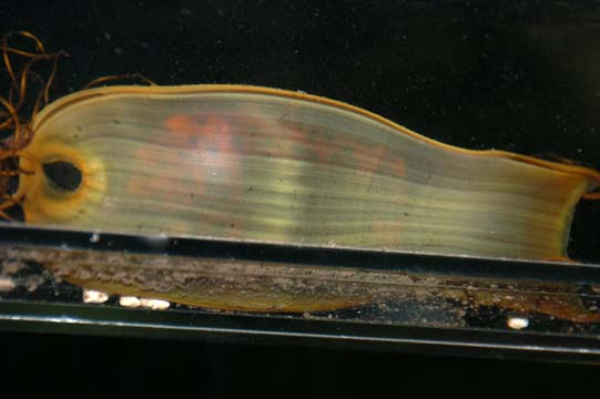 tiger shark egg. You can see the fetal shark inside; it was ...
