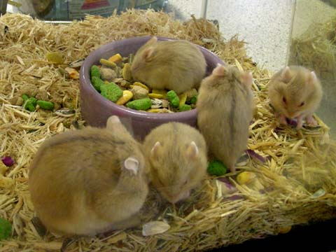 And these are not at the nature center, but at Petcoa Siberian hamster