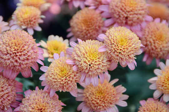 The Chrysanthemums a Feminist Perspective