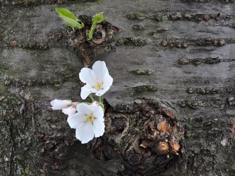 Cherry Blossom Dating