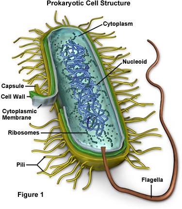 procaryote