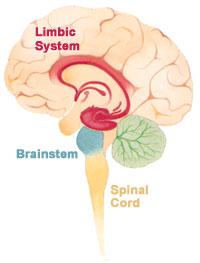 Brain_limbicsystem