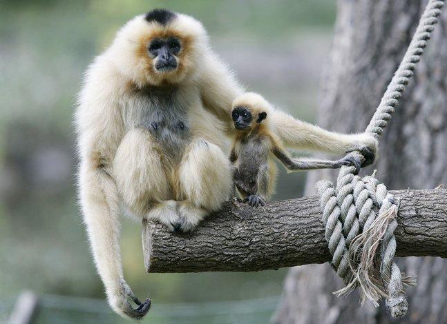 gibbon_warsaw