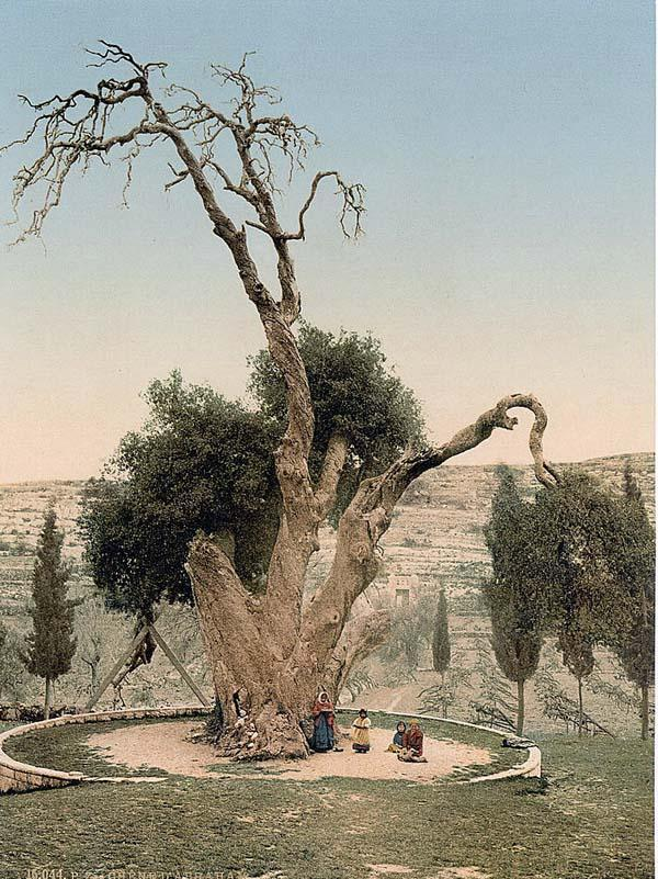 Oak_of_Mamre_circa_1900_colored_photo