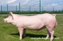 На Россию приходится 7 процентов мирового импорта свинины. По этому показателю наша страна занимает 4 место в мире