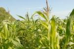 Развитие свиноводства в США невозможно по причине высоких цен на кукурузу
