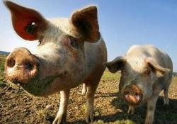 Приморье всё больше свиней