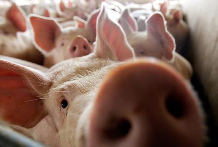 Распространение африканской чумы свиней(АЧС) в ЕС вызывает серьезные опасения