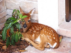 male-fawn-1