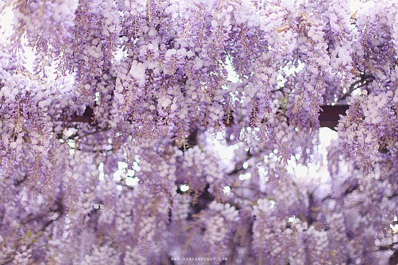 wisteria-by-Sonya-Khegay-04