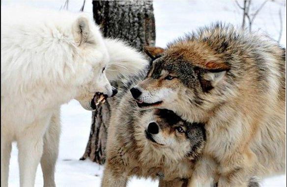 Волки 1