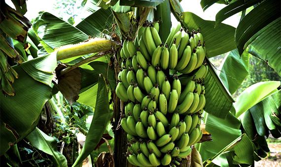 bananovaya-orangereya