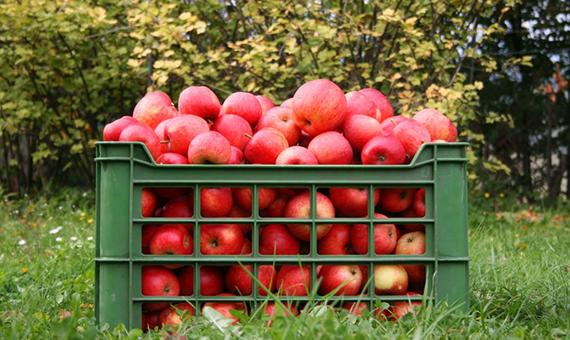 jablka_11_2