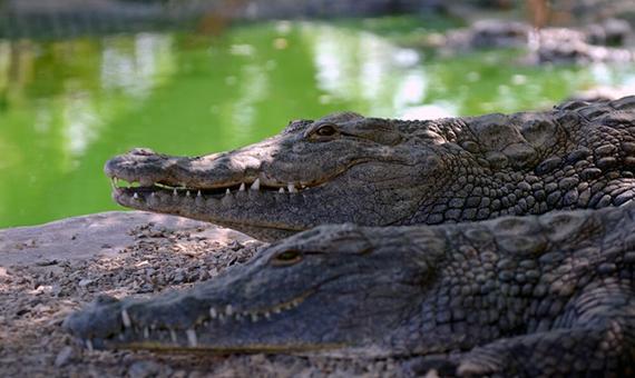 na-kipre-rassmatrivaetsya-predlozhenie-po-pereseleniyu-krokodilov-iz-izrailya