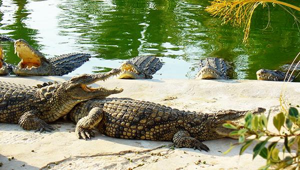 perspektivy-parka-razvlecheniy-s-tysyachey-nilskih-krokodilov-na-kipre