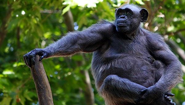 iz-zhizni-idiotov-sud-nyu-yorka-rassmotrit-pravo-shimpanze-na-lichnuyu-svobodu