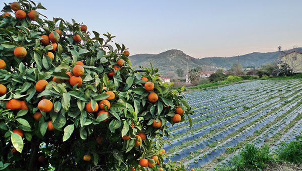 pomosch-es-proizvoditelyam-citrusovyh-kipra-deneg-vozmozhno-dadut-tolko-za-apelsiny-i-mandariny-no-ne-vsem