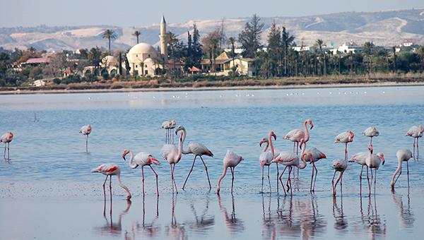 rozovye-flamingo-prileteli-zimovat-na-kipr
