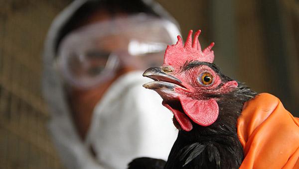 v-egipte-za-nedelyu-dva-cheloveka-umerli-ot-ptichego-grippa