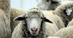 Sheep(1)