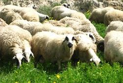 cyprus-sheep