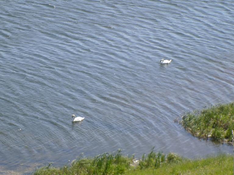 лебеди 2.jpg
