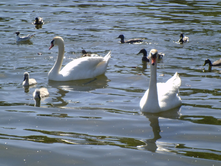 Лебеди на Городищенском озере, Изборск, 04.06.16.jpg
