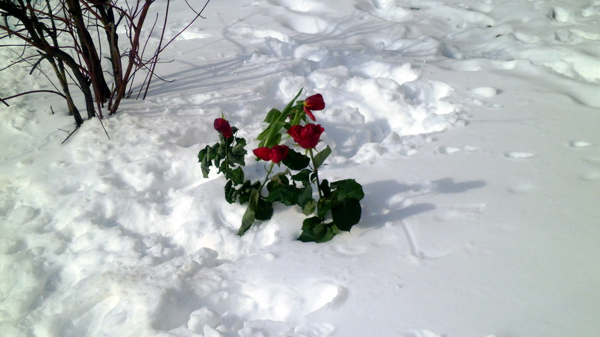 9 марта, цветы на снегу