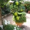 Лимоны возле отеля