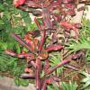 Макабия, красное на зеленом