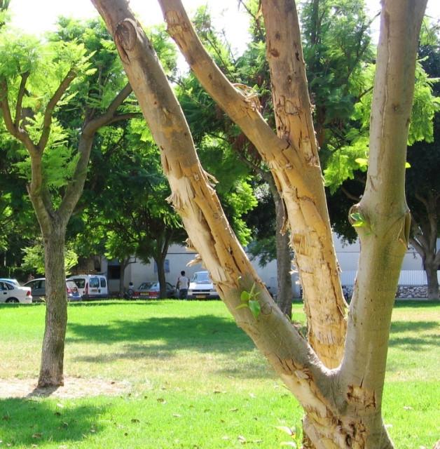 Дерево, раненое осколками
