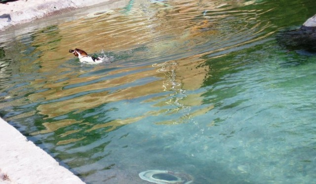 Пингвин плывет