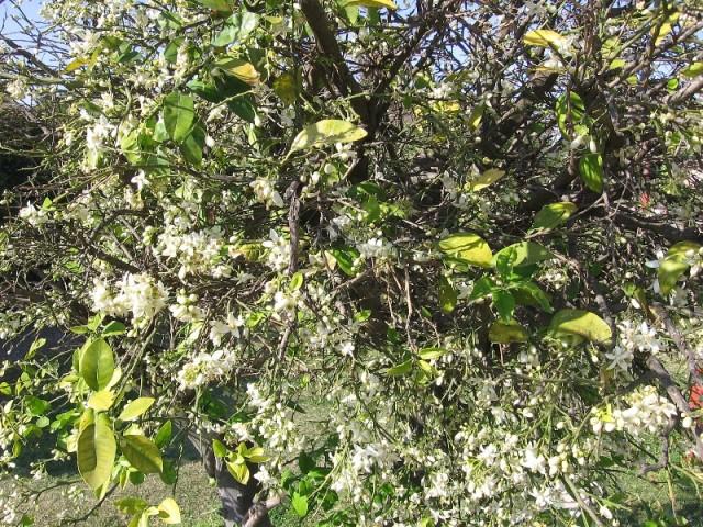 Мандарин в цвету -1
