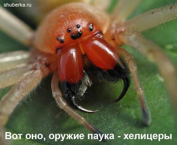 jadovitye-pauki-2