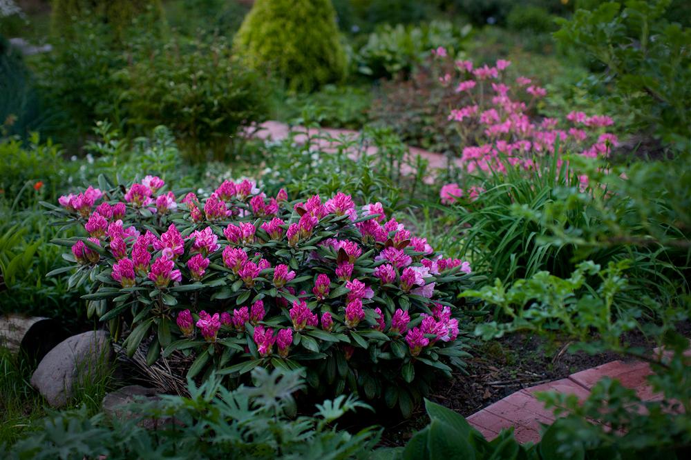 Rhododendron-'Ken-Janeck'2