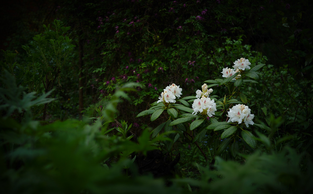 Rhododendron-'P.M