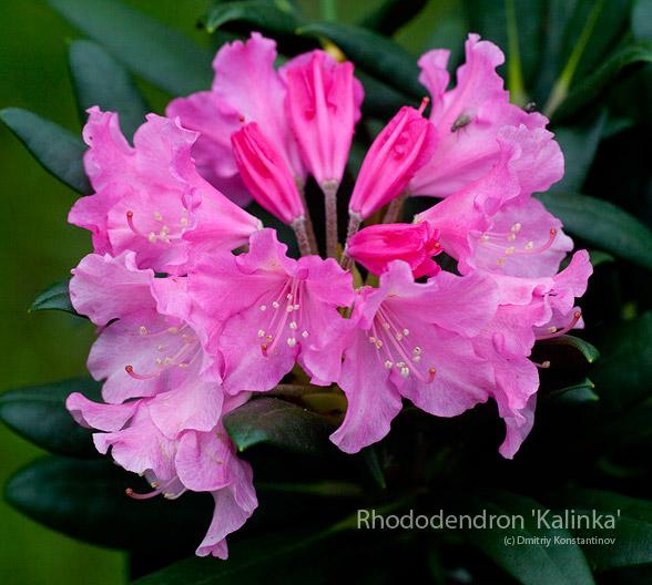 Rhododendron-'Kalinka'