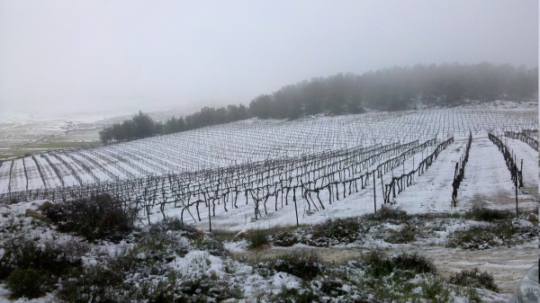 Snow on vineyard