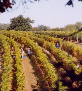 hungarian_cabernet_franc_vineyard