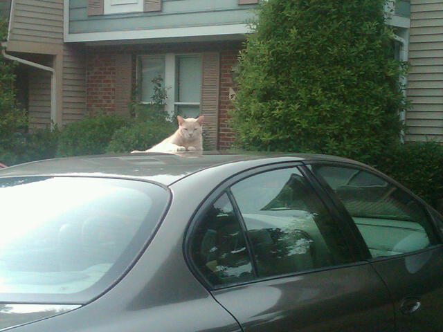 Cat stretched out on the roof of a neighbor's car